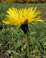 Leontodon hispidus PID1776-5.jpg