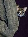 Leopard Cat (13970737300).jpg