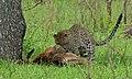 Leopard with kill (Panthera pardus) (5984987852).jpg