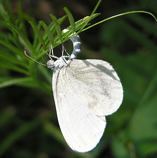 Dismorphiinae subfamily of insects