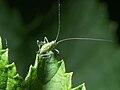 Leptophyes punctatissima nymph-pjt.jpg