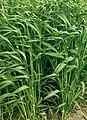 Les Plantes Cultivades. Cereals. Imatge 146.jpg