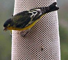 Lesser-Goldfinch.jpg