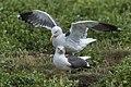 Lesser Black-backed Gull - Farne Is - FJ0A6530 (35525176703).jpg