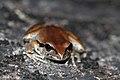 Lesueurs Tree Frog (Litoria lesueuri) (8398101538).jpg