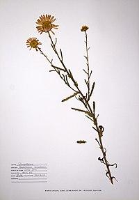 Leucanthemum vulgare BW-1988-0720-9926.jpg