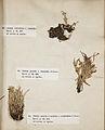 Lichenes Helvetici III IV 1842 008.jpg