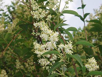 Ligustrum lucidum - Image: Ligustrum Lucidum Flowers