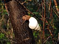 Liguus fasciatus snail on Everglades National Park Long Pine Key Nature Trail (6705661905).jpg