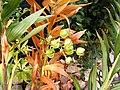 Lilium hansonii (seedpods).jpg