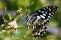 Lime swallowtail (papilio demoleus demoleus).jpg