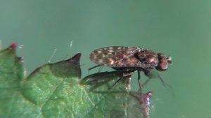 File:Limnellia quadrata - 2012-09-09.ogv