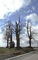 Linden bij de Vijflindenkapel te Zwalm - 372199 - onroerenderfgoed.jpg