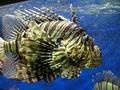 LionFish MonacoAquarium.png