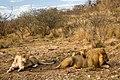 Lion Family (3684694321).jpg