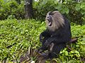 Lion Tailed Macaque aggression.jpg