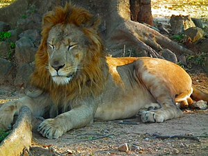 The lion (Panthera leo) is one of the four big...