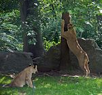 File:Lioness Panthera leo at Bronx and Cub.jpg