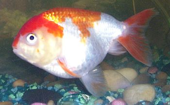 English: Lionhead Goldfish. Category:Goldfish ...
