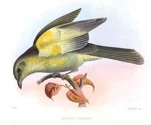 Grey-tailed piha - Image: Lipaugus Subalaris Smit