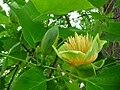 Liriodendron tulipifera Knospe und Blüte.JPG