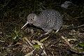 Little-spotted kiwi (Apteryx owenii).jpg