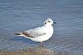 Little Gull (Hydrocoloeus minutus) (14497961287).jpg