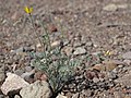 Little goldpoppy, Eschscholzia minutiflora (29528088194).jpg