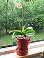 Little orchid D1207.jpg