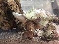 Live Chicoreus ramosus.jpg