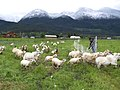 Livestock BM2 (38159714264).jpg