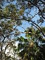 Livistona australis9139823465 1d14d0c93d o.jpg