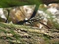Lizard - Flickr - GregTheBusker (20).jpg