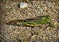 Llagost - Saltamontes - Grasshoppher (1817607042).jpg
