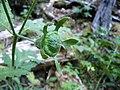 Loasa acanthifolia por Pato Novoa - 001 (1).jpg
