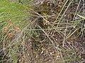 Lomatium triternatum (4036543025).jpg