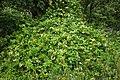 Lonicera japonica kz5.jpg