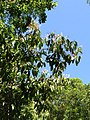 Look up and see flowering trees - panoramio.jpg