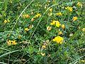 Lotus corniculatus - wetland 2.jpg