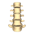 Lumbar vertebrae - close-up - anterior view.png