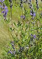 Lupinus pratensis Inyo meadow lupine pod-leaf-bloom.jpg