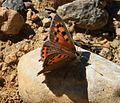 Lycaena phlaeas (Manto Bicolor) - Flickr - S. Rae (2).jpg
