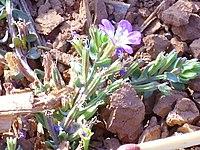 Lythrum tribracteatum Enfoque 2011-8-19 RioJabalon CampodeCalatrava.jpg