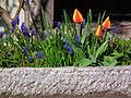 März 2012 Tulpen und Muscari.JPG
