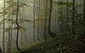 Młody las bukowy w masywie Jawornika.jpg