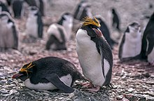 Two macaroni penguins – one standing, one lying on belly