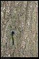 Macrobrochis gigas (caterpillar) (14319681454).jpg