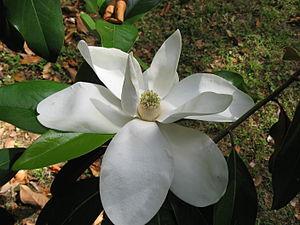Immergrüne Magnolie (Magnolia grandiflora), Blüte