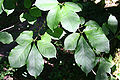 Magnolia kobus 'Borealis' JPG1c.JPG