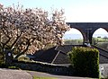 Magnolia tree, Brunel's Viaduct, Churston, Torbay - geograph.org.uk - 1225628.jpg